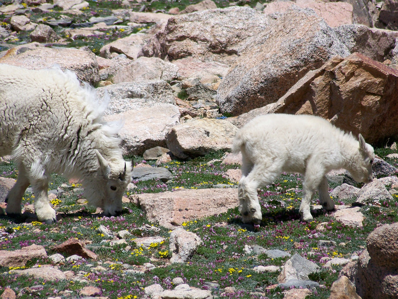 Mountain Goats at the top of Mount Evans