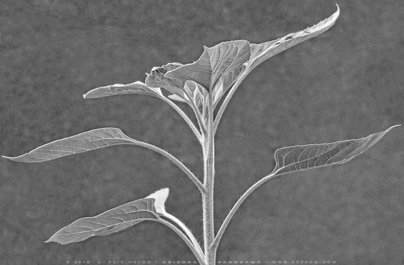Tilted Sunflower