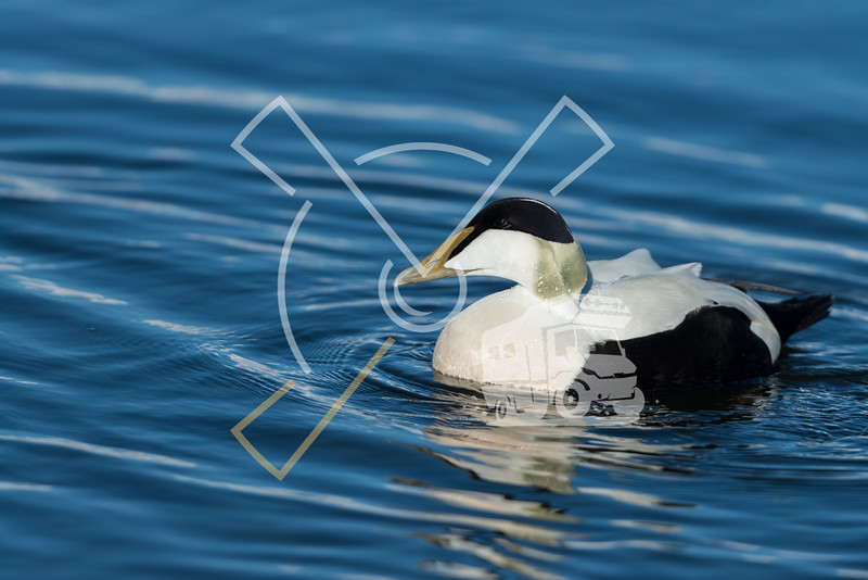 Eider ducks at Jokusarlong glacier lake in Iceland