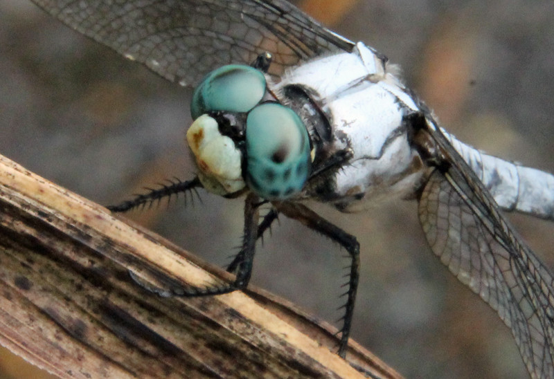 Blue Dasher 11