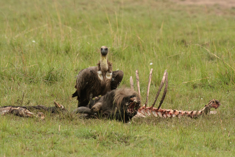 This vulture is with what's left of the wildebeest the lions were eating the day before.