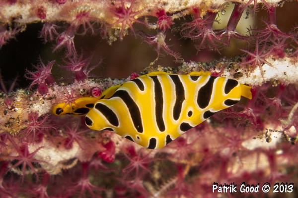 Tiger Egg Cowry Snail