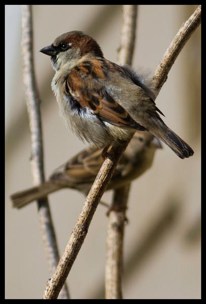 House Sparrows and Carolina Chickadee