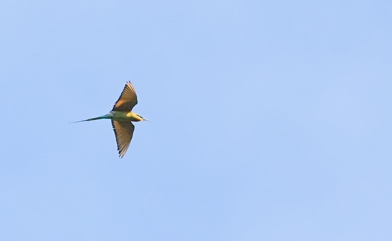 Bluetailed Beeeater