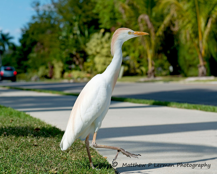 Cattle Egret #608