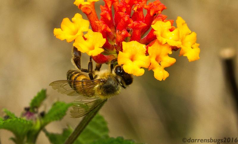 Honey bee (Apis sp.) from Monteverde, Costa Rica.