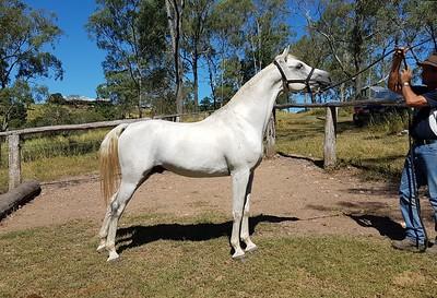 Zuhra Zhajaan (SE stallion) SOLD
