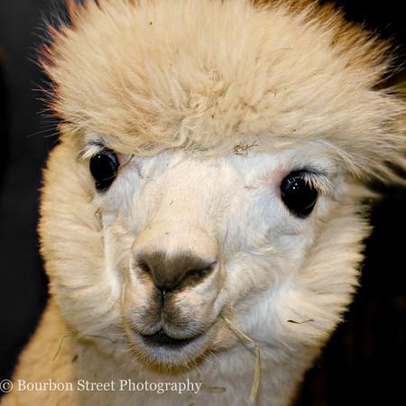 New England Coastal Classic Alpaca Show - Nov. 2009