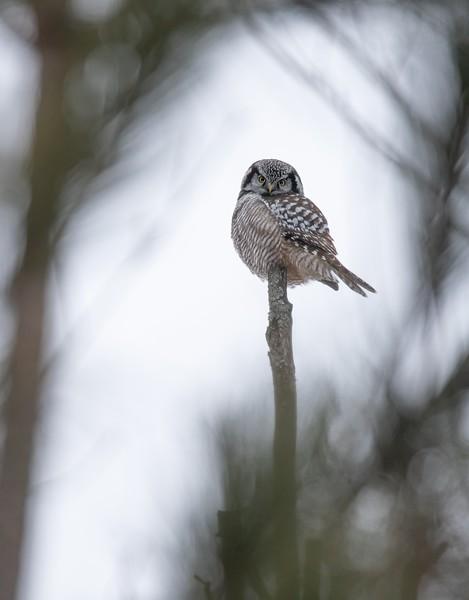Northern Hawk Owl-9353-DeNoiseAI-low-light-SharpenAI-focus.jpg