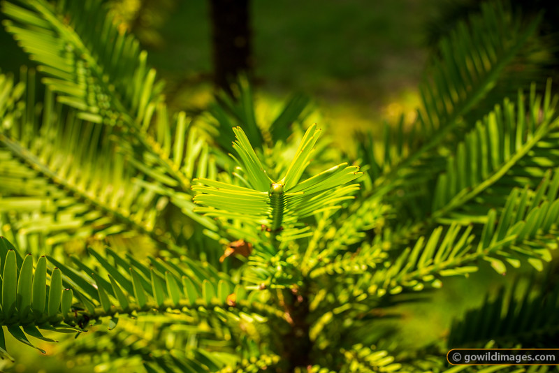 Wollemi Pine Frond