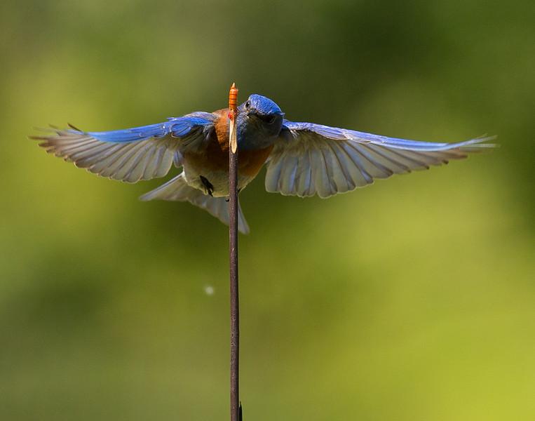 Robin-24.jpg
