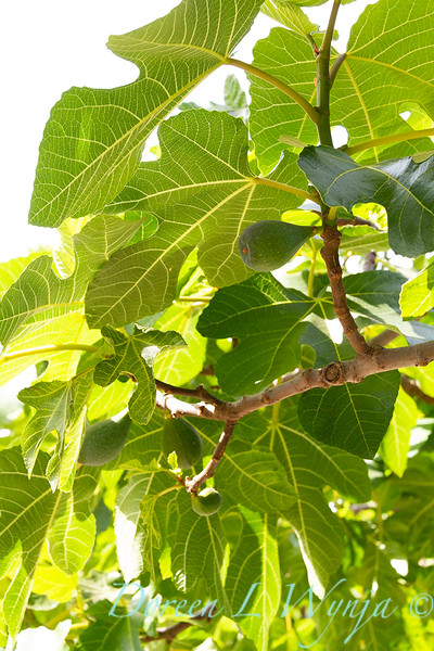 Ficus carica_009.jpg