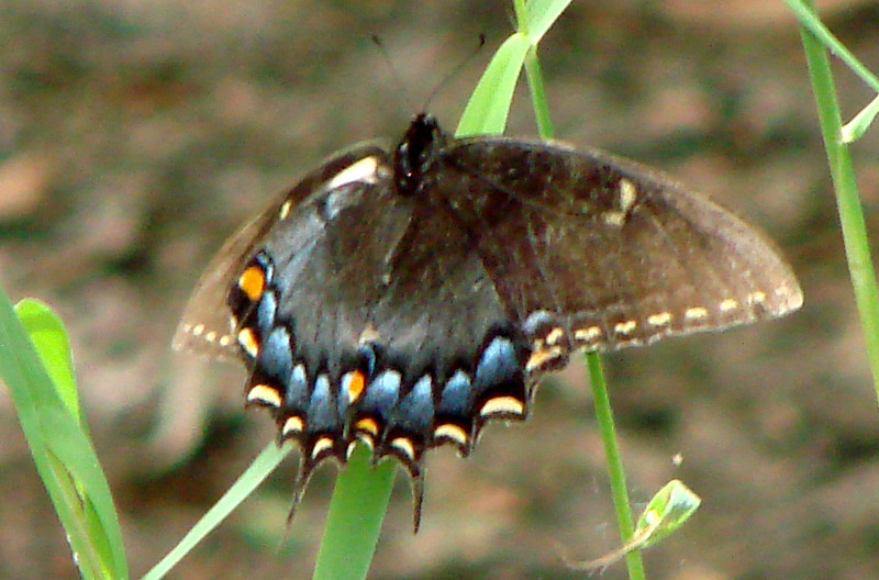Eastern Tiger Swallowtail (Papilio glaucus) dark form female.  TX: Tarrant Co. (Fort Worth Nature Center), 26 July 2007.