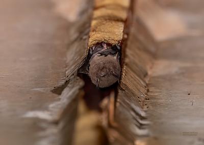 Vesper Bats (Vespertilionidae)