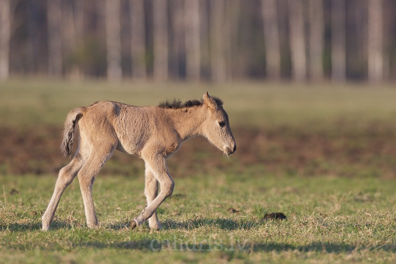 A colt of semi-wild horses in Kemeri national park