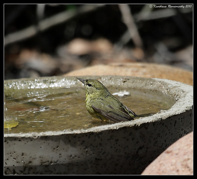 Orange-Crowned Warbler taking a bath, The Drip, Cabrillo National Monument, San Diego County, California, April 2010