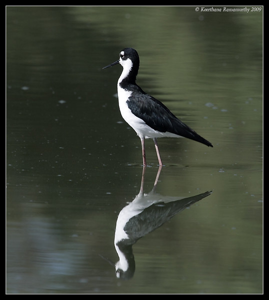 Black-necked Stilt, Lindo Lake, San Diego County, California, September 2009