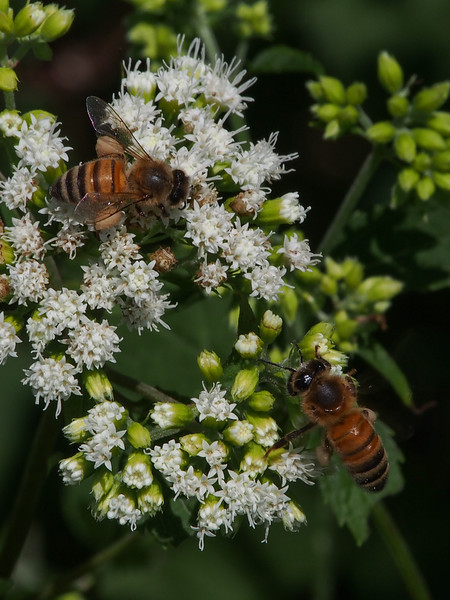 Honey Bees (Apis mellifera)