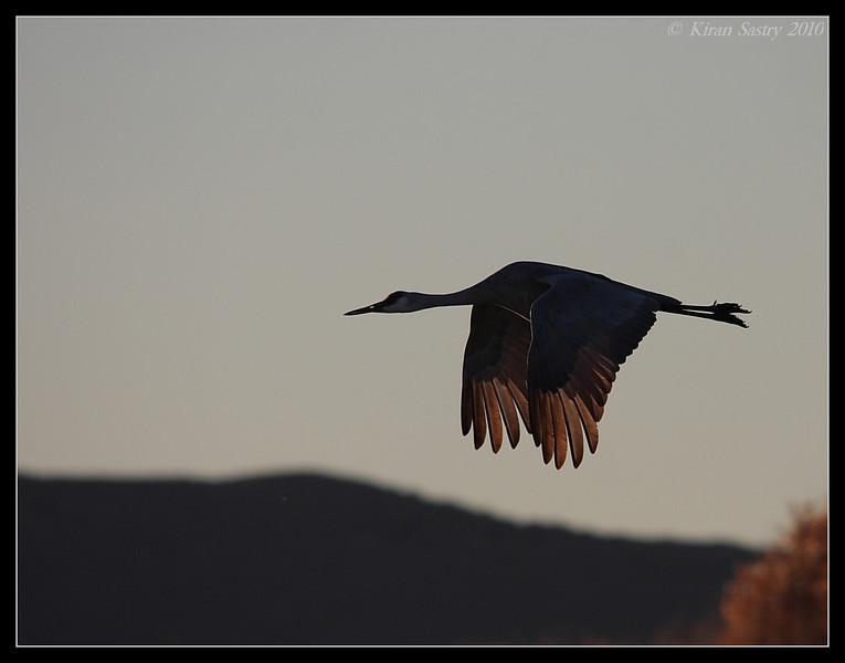 Sandhill Crane silhouette, Bosque Del Apache, Socorro, New Mexico, November 2010