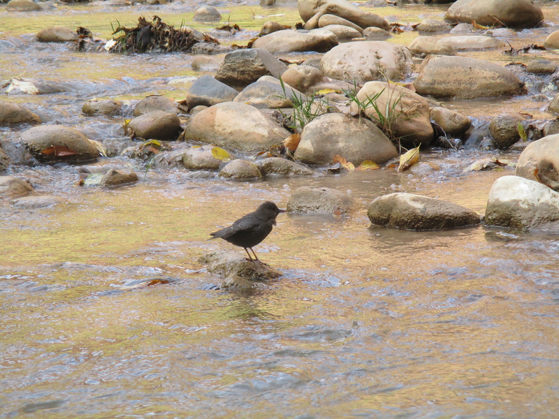 Bird that was 'fishing' in the stream. It would keep its head underwater for a minute or more.