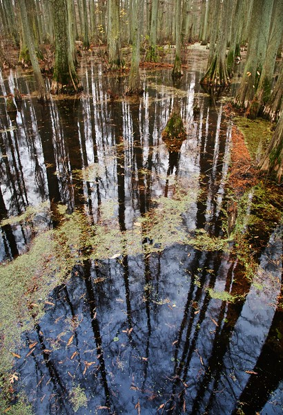 Bald cypress reflected in Heron Pond. Cache River State Natural Area, Illinois