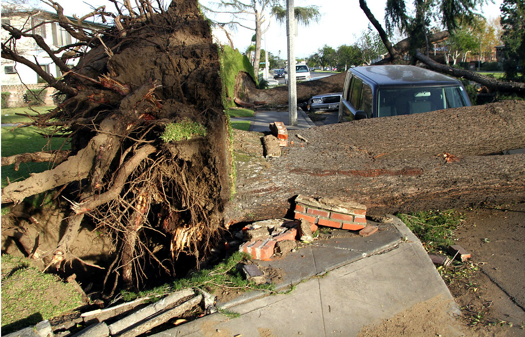 . Giant trees uprooted and smashed onto parked cars on Huntington Drive in Arcadia, after 80 mile an hour wind storm hit the West San Gabriel Valley, on December 1, 2011. (photo by James Carbone/Correspondent)