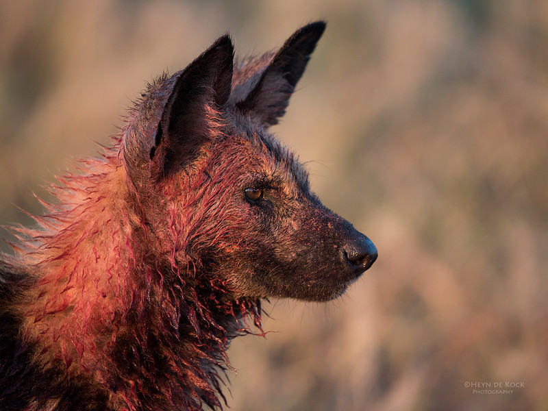African Wild Dog, Savuti, Chobe NP, Botwana, May 2017-5.jpg