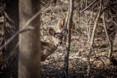 Eatontown Deer, 3/21/17
