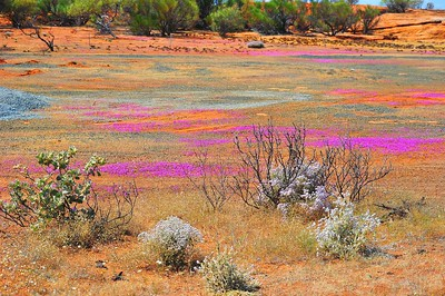 Wild Flowers, Paynes Find, Golden Outback, WA
