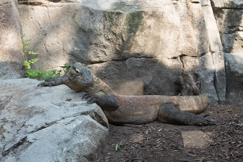 BOGA THE KOMODO DRAGON