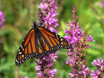 Nature/Butterflies/Flowers