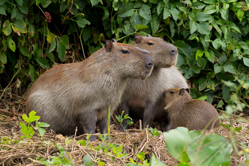 Capybara of the Pantanal, Brazil-11.jpg