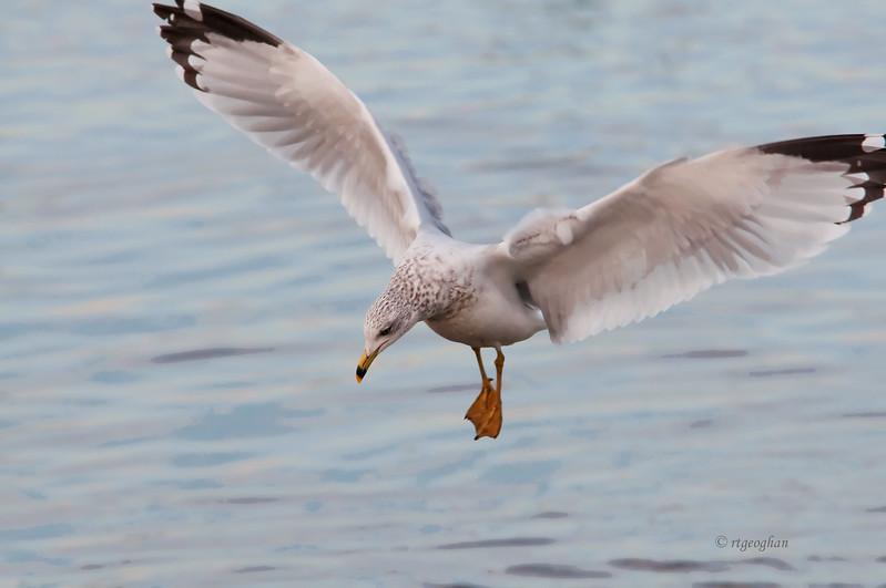 Nov 20_Ringbilled Gull Fshing_8565.jpg
