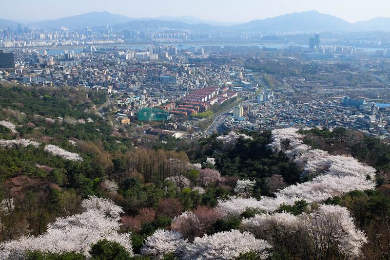 Namsan_Cherry_Blossoms_PhotoWalk-0094.jpg