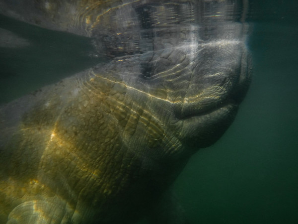 Snorkeling with the manatee