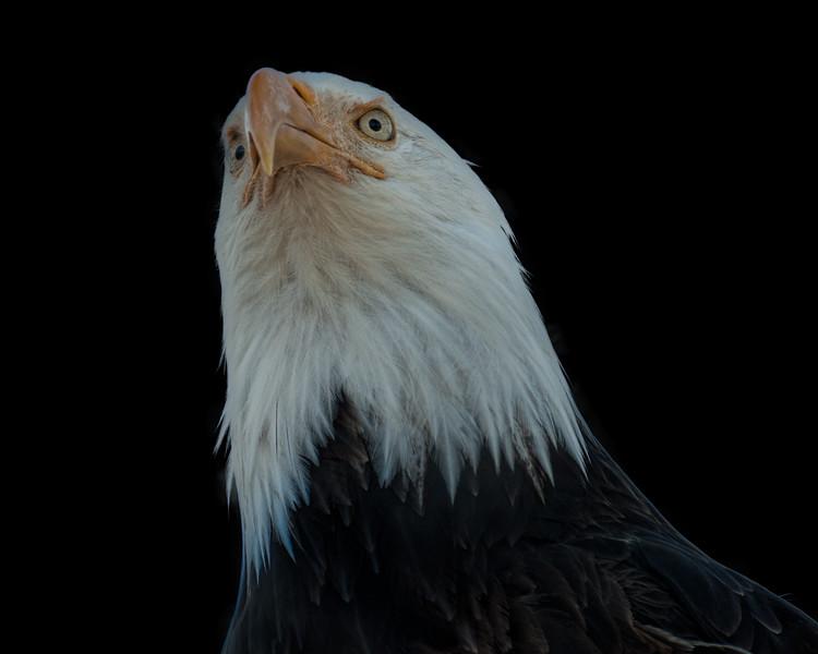 eagle black background.jpg