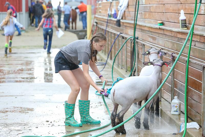 Sheep Show-2.jpg