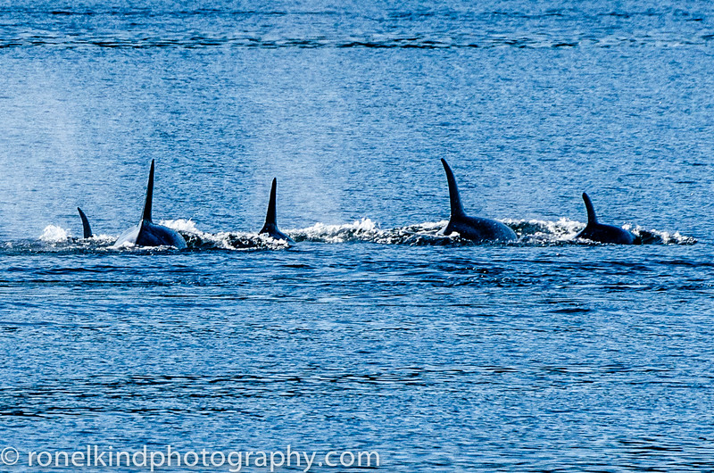 Pack of Killer Whales on the hunt.