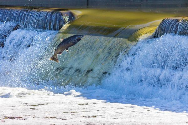 Salmon Run #2