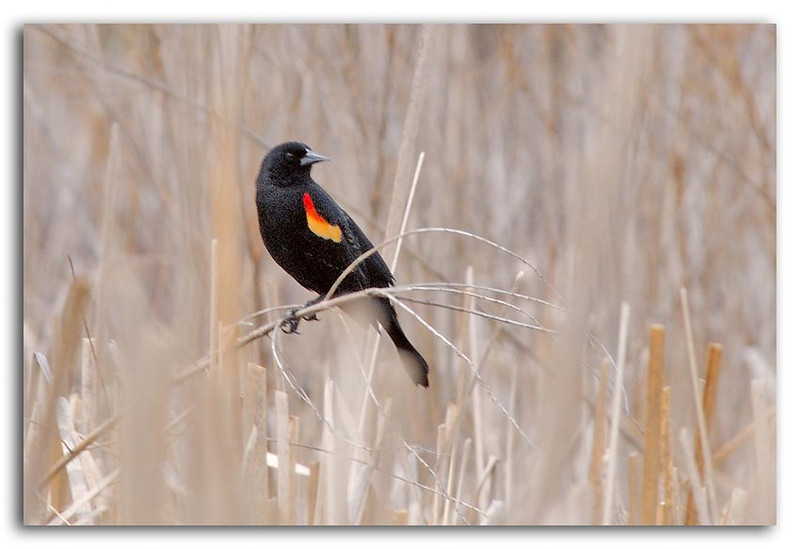 Red Winged Blackbird.jpg