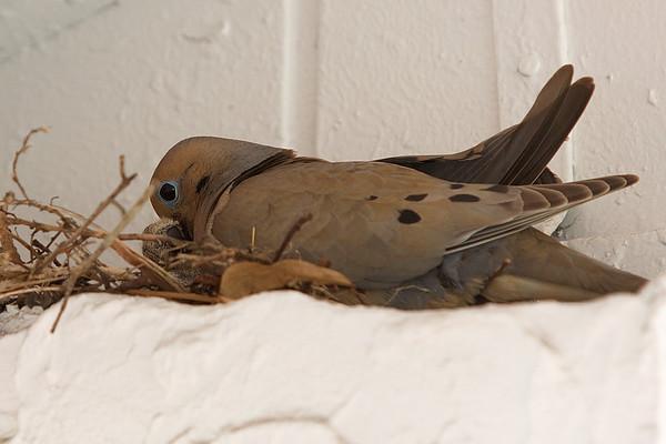 20140531 Nesting Mourning Doves