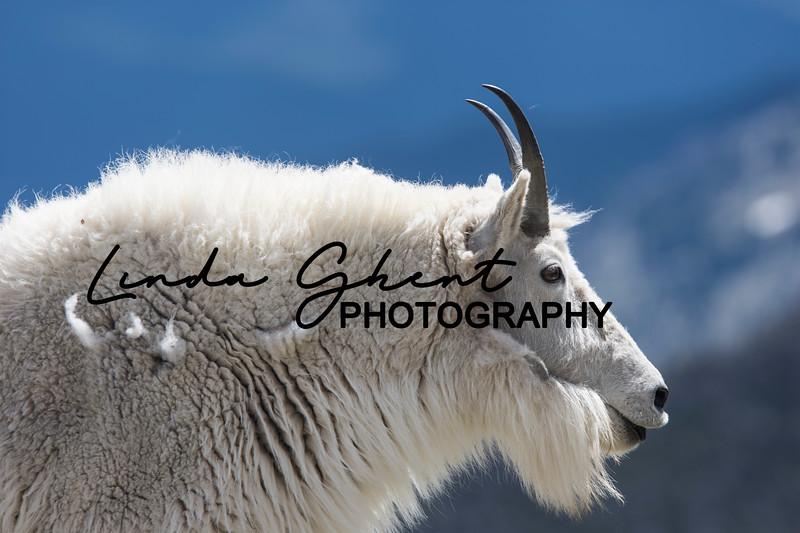 Mount Evans Mountain Goats #8