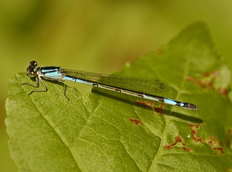 Enallagma aspersum (Azure Bluet), GA