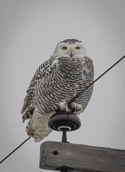 Snowy Owl Maddie (Maddox)
