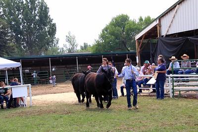 Senior Beef Showmanship Final Drive