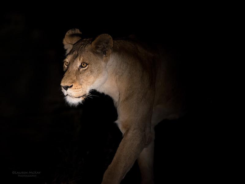 African Lion, Sabi Sands (EP), SA, Sept 2015-1.jpg