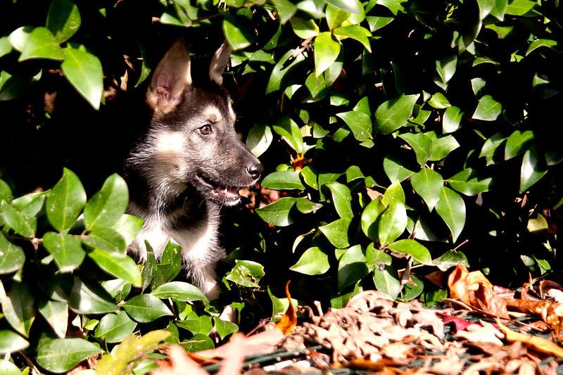shepherd pup 2.jpg