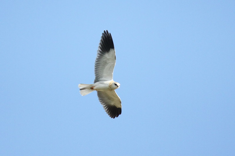 Blackwinged Kite, Svartvingad Glada