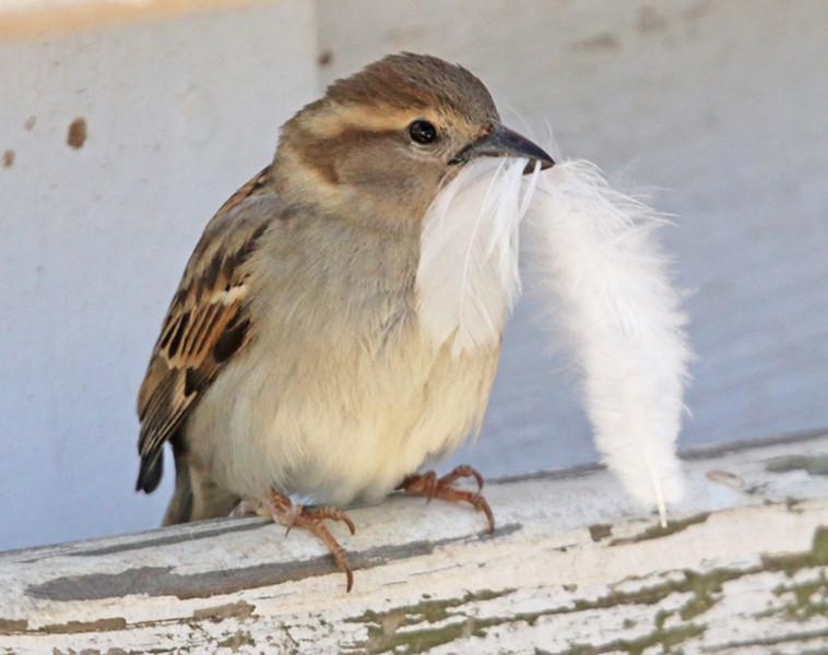 house sparrow 11 x 14.jpg