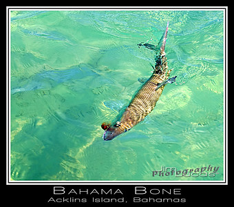 Acklins Island Bonefish
